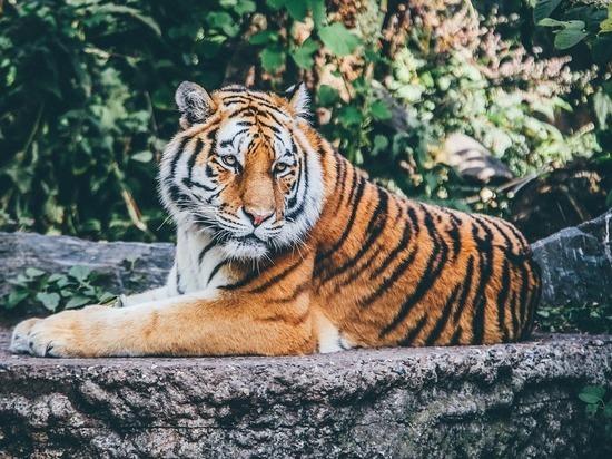 Отец снял на видео, как тигр нападет на сына в зоопарке