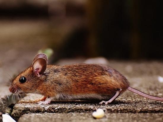 Крысята Дамбо, мастомисы и прочие - почем символ года для псковичей