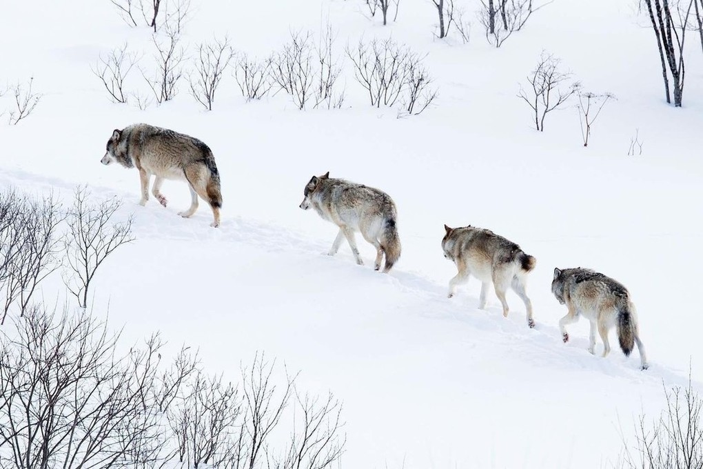 внимание картинка как охотится волк зимой что