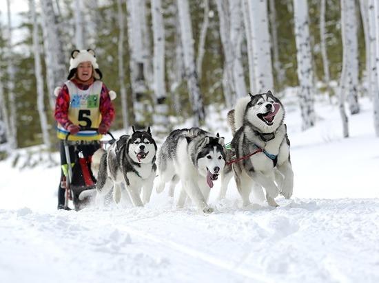 В Ярославской области пройдут гонки на собачьих упряжках