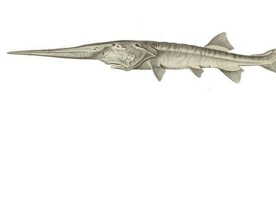 Крупнейшая пресноводная рыба в мире объявлена вымершей