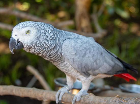 Серые попугаи могут помогать другим без какой-либо пользы для себя
