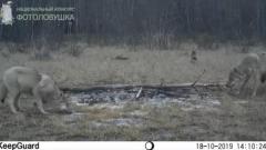 Карельские волки - обитатели заповедника