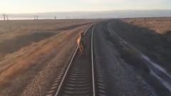 В Астраханской области верблюд на час задержал пассажирский поезд: видео