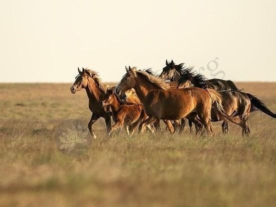Калмыцкие лошади вышли в финал международного конкурса