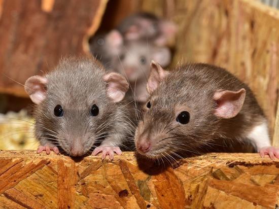 В Москве открылась горячая линяя по спасению крыс