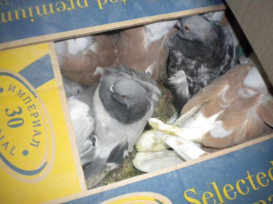 В Брянск не пустили голубей-нелегалов