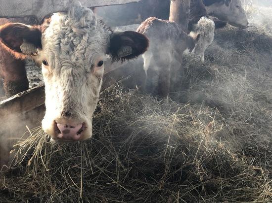 В Бурятии без потерь проходит зимовка скота