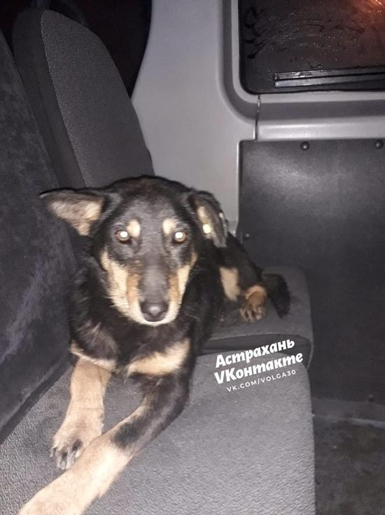 В Астрахани на маршрутке катался пес-безбилетник