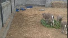 Голубые бараны уплетают за обе щеки елочки астраханцев