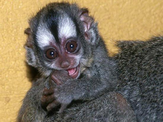 Родители целый месяц прятали новорожденную ночную обезьянку от сотрудников зоопарка