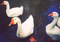 Судьбой трех белых гусей, проживающих близ реки Яузы в Леоновском парке, обеспокоены хозяева и местные жители