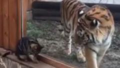 Ростовская тигрица нашла себе подругу - домашнюю кошку: видео