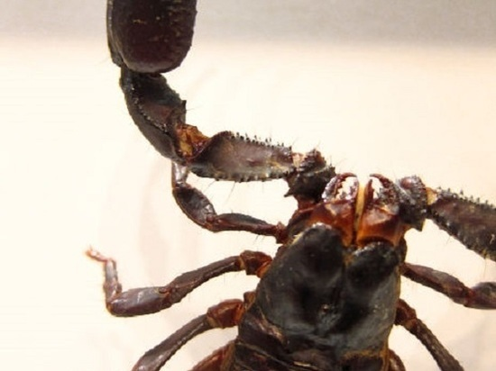 Обнаружены останки древнейшего скорпиона на планете