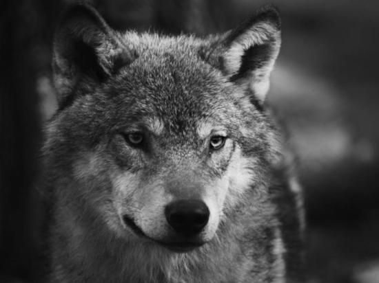 Волчата впервые принесли человеку мяч, пролив свет на одомашнивание собак