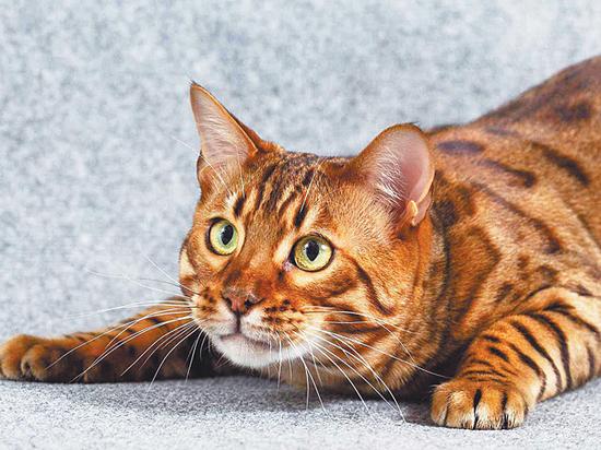Хозяева бенгальских кошек объяснили их сумасшедшую популярность