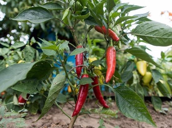 Ученые обнаружили неожиданное полезное свойство перца чили