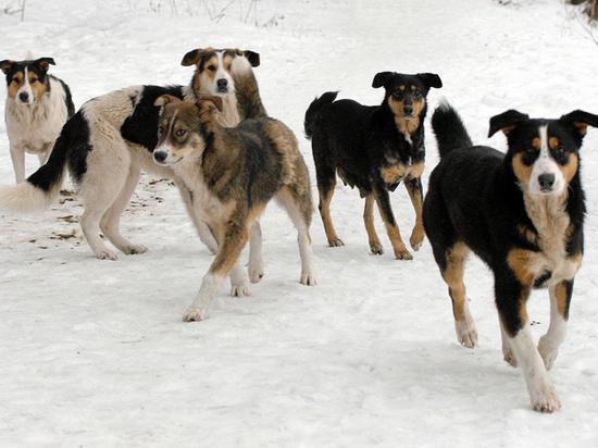 Стая бродячих собак искусала российского школьника