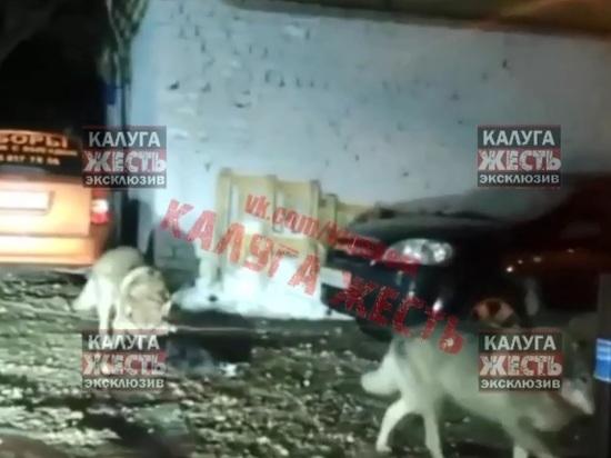 В центре Калуги замечены волки