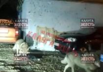 Калужане узнали загрызших собаку волков
