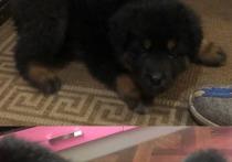 «Он хотел заманить нашу дочку»: в Улан-Удэ у семилетней девочки мужчина отобрал щенка