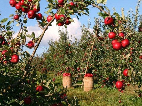 Диетологи: кому нельзя есть яблоки и почему