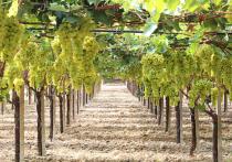 Сербские селекционеры помогут создать виноградный питомник в Чечне