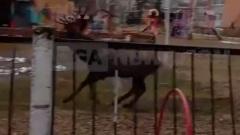 Очевидцы засняли бегающего оленя в калужском детсаду