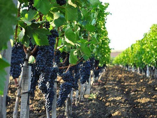 В этом году на Кубани высадят 1,7 тысячи гектаров молодых виноградников