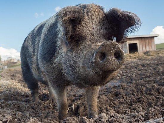 Карантин по африканской чуме у свиней отменили в Каменском районе