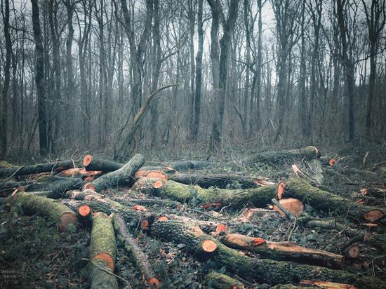 Вскрыта схема воровства русского леса