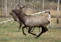 «Шаг в правильном направлении»: в России готовятся узаконить вольерную охоту