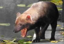 В Московском зоопарке родились щенки редкой кустарниковой собаки