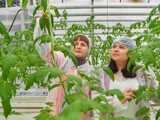 Свердловская селекция гибрида помидора получила губернаторскую премию