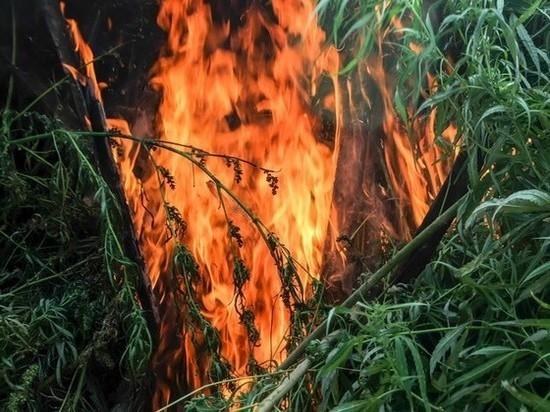 В России в 16 раз выросла площадь сожженной конопли