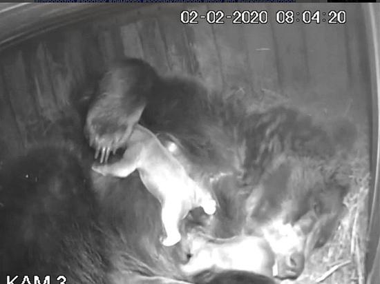 Медведица Ляля родила троих медвежат в нижегородском «Лимпопо»