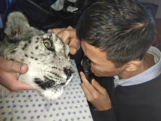 Шансов вернуть зрение годовалому барсу, раненому в Кыргызстане, нет