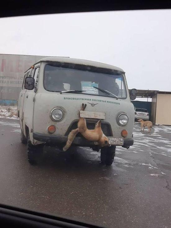 Ставропольский губернатор призвал наказать повесивших лису на капоте «УАЗа»