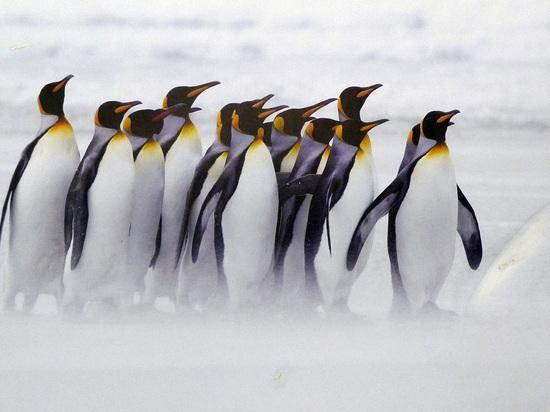 Ученые заявили о резком сокращении популяции пингвинов в Антарктике
