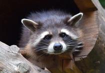 Енотов, отказавшихся впадать в спячку, в зоопарке развлекали съедобными головоломками