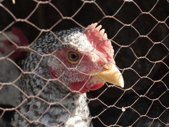 Вакансия для ловца кур появилась в Удмуртии