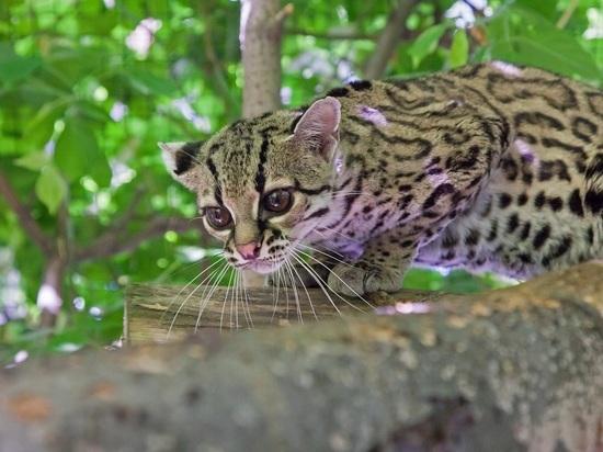 У скрытных южноамериканских животных появился первенец