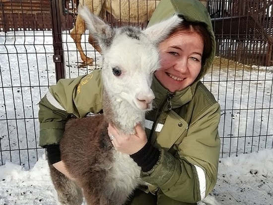 Малыш-альпака родился в Удмуртском зоопарке