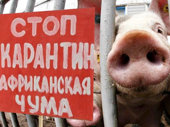 В Ярославской области началась чума свиней