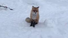 «Садись и жди»: на Ямале рыбак накормил лиса