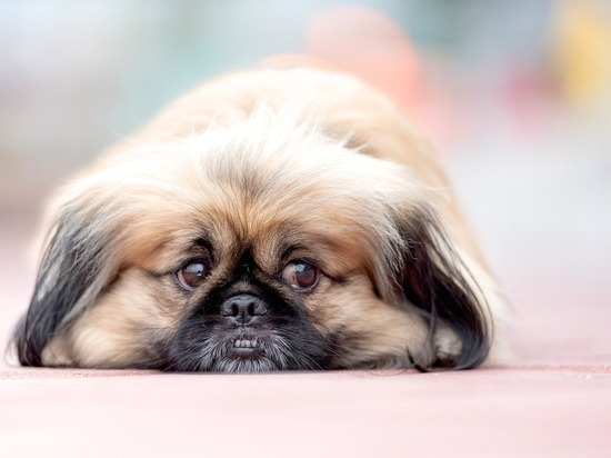 Мужчину из ХМАО подозревают в краже собаки, которую он обещал перевезти из Краснодара в Санкт-Петербург