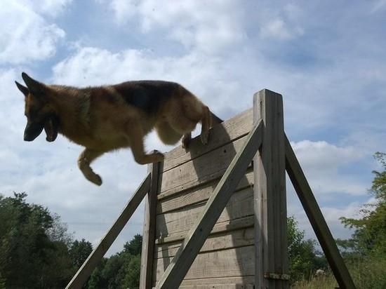 В Надыме полицейские собаки показали кадетам навыки поимки бандитов и поиска бомб