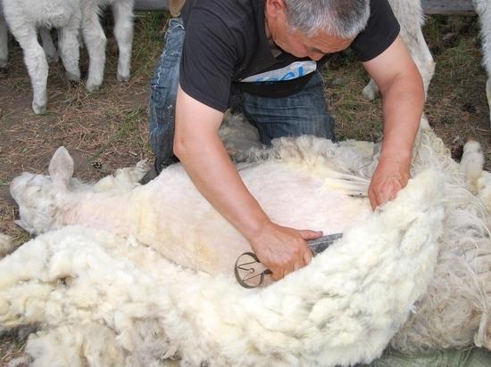В Калмыкии создадут организацию по скупке и сбыту овечьей шерсти
