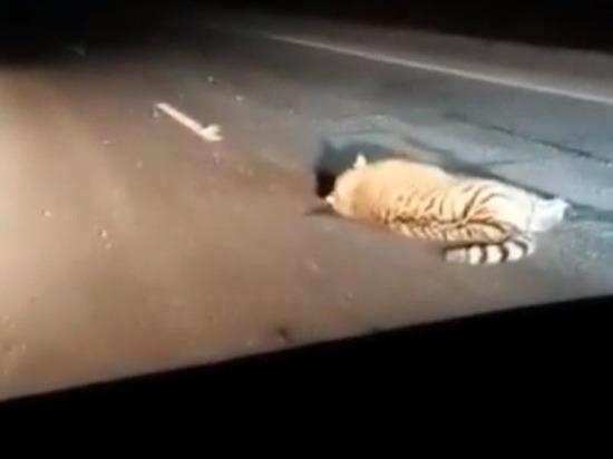 Автобус сбил амурского тигра в Приморье