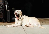 Собачья зевота не говорит об эмпатии к человеку